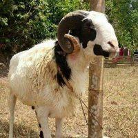 Domba Potong